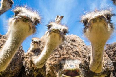 страусы.jpg